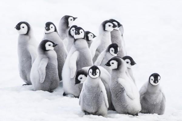 Emperor Penguin chick Aptenodytes forsteri