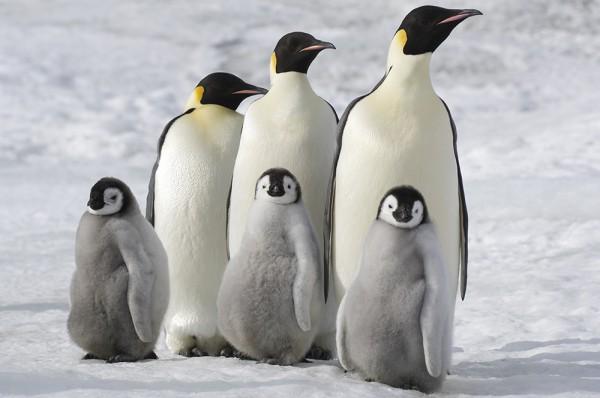 Antarctica, Snow Hill Island, Emperor Penguin (Aptenodytes forsteri) families.