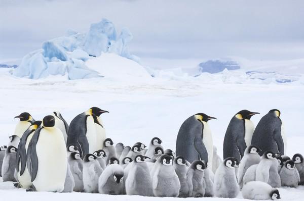 Antarctica, Snow Hill Island, Emperor Penguin (Aptenodytes forsteri) roockery