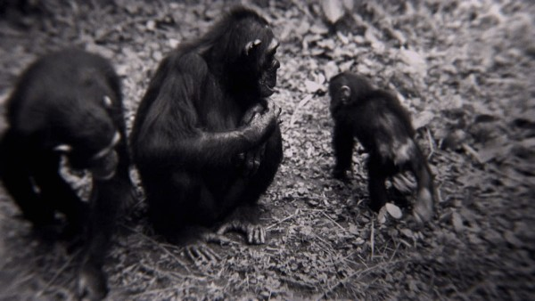 Gombe, Tanzania - Two adult chimps, one young chimp. The feature documentary JANE will be released in select theaters October 2017. (Jane Goodall Institute)